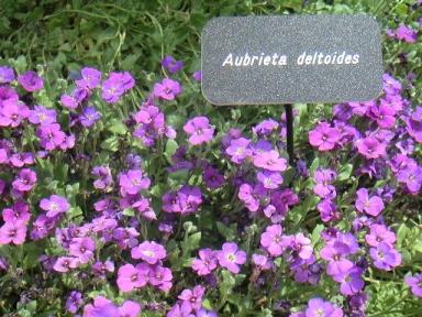 Aubrieta Deltoides