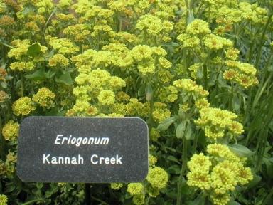 Eriogonum